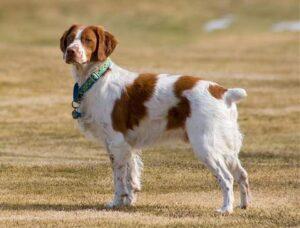 coupe oreilles queue chien corps