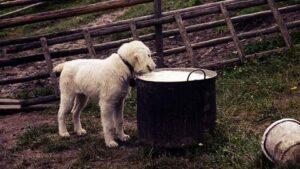 aliments toxiques chien coprs