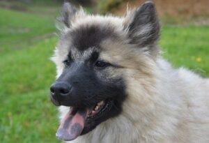 chien langue bleue