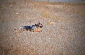 chien fugue ban