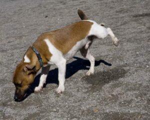 chien lève patte pipi corps
